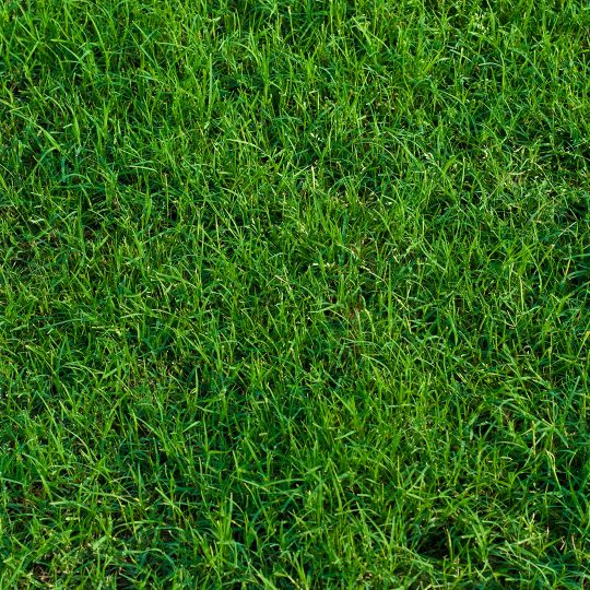 bermuda grass sod