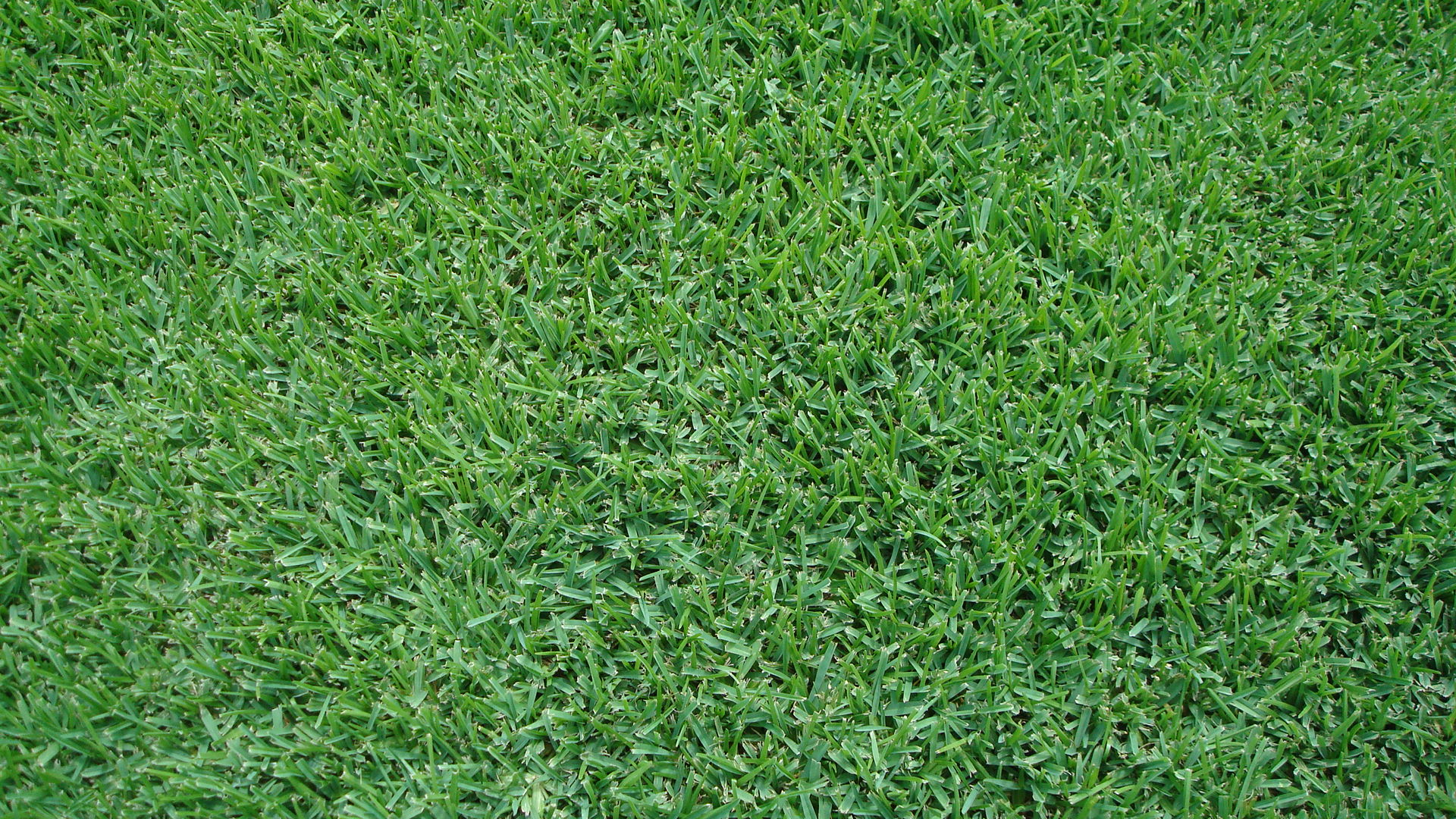 palmetto st. augustine grass sod