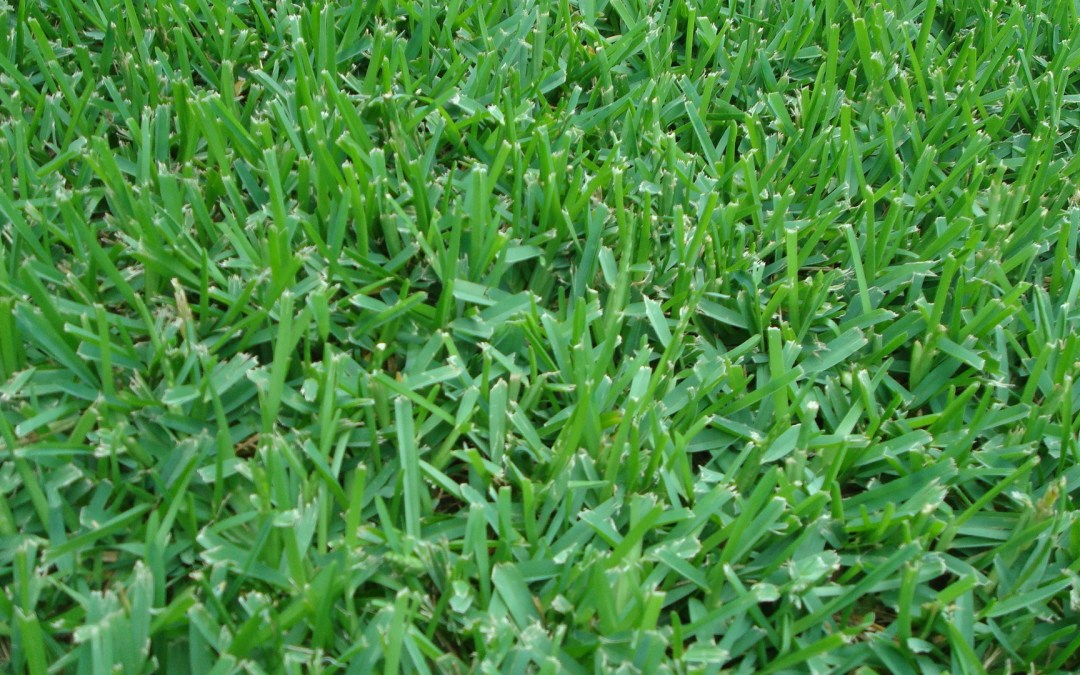 St Augustine Grass Sod Lafayette Sod