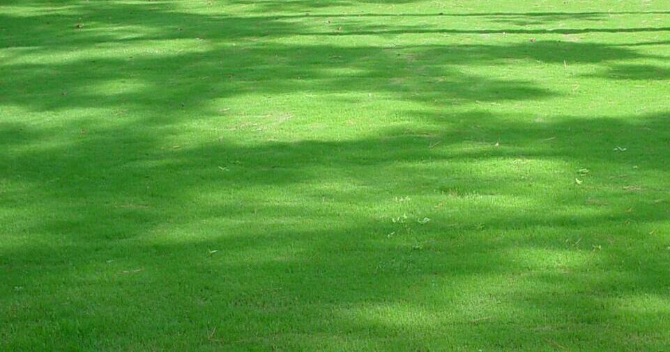 tif tuf bermuda grass beneath trees in the shade